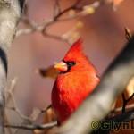 Red Angry Bird 真實世界學名是 Cardinalis Cardinalis
