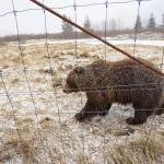 【阿拉斯加】阿拉斯加棕熊(影片)
