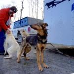 【美國.阿拉斯加】IDITAROD TRAIL RACE HQ – 1868 公里為期 10 天以上的雪橇狗比賽