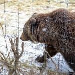 【美國.阿拉斯加】阿拉斯加棕熊,可愛的走動暗藏恐怖