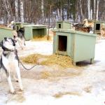 【美國.阿拉斯加】雪橇狗的家,超過 40 隻雪橇狗與你打招呼