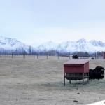 【美國.阿拉斯加】麝牛,皮毛可以讓雪從身上滑落